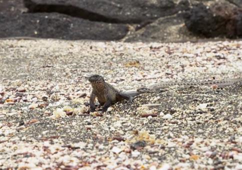 Leguan wird von Schlangen verfolgt