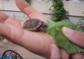 Kleine Schildkröte am fressen
