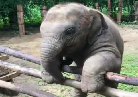 Dieser Elefant ist ein Ausbrecher