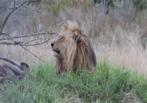Störe keinen Löwen beim Fressen
