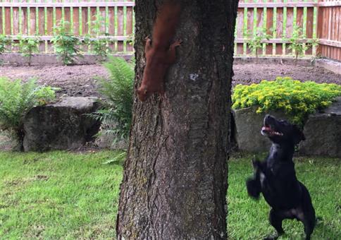 Eichhörnchen verarscht Hund