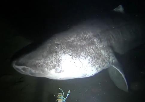 Ein Grönlandhai