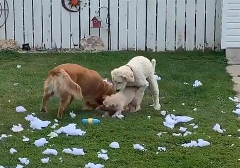Hunde beim Koitus erwischt