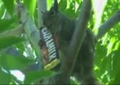 Eichhörnchen frisst Schokoriegel