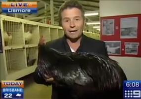 Reporter hat Angst vor einem Hahn