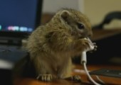 Kleines Eichhörnchen knabbert an Kopfhörern