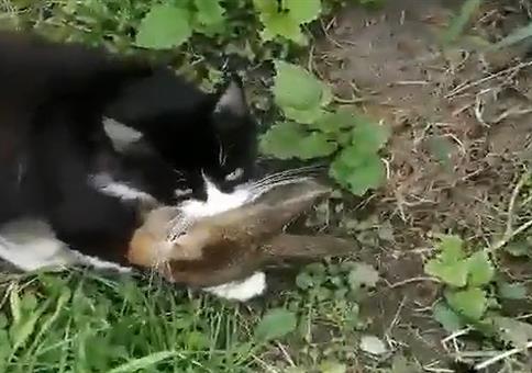 Katze hat Hasen