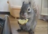 Eichhörnchen steht auf Zitronen