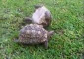 Diese Schildkröte ist ein Held