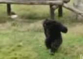 Affe angepisst von Müll im Gehege