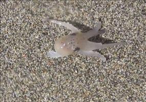 Baby Octopus beim Strandspaziergang