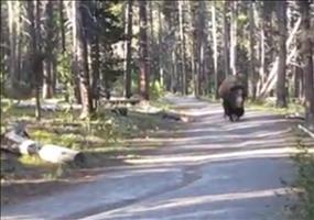 Da kommt ein Bison den Weg entlang