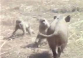 Affen auf der Flucht