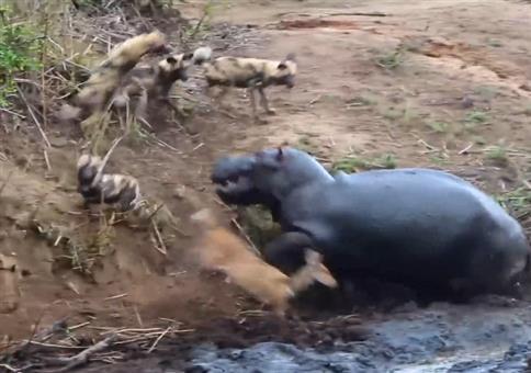 Nilpferd rettet Reh vor Hyänen