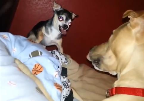 Das kleine Großmaul Chihuahua