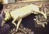 Hund stellt sich tot