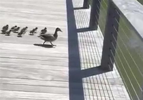 Kleine Enten springen ins Wasser