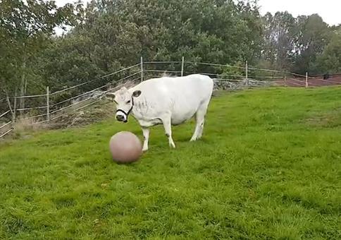Diese Kuh liebt Ballspielen