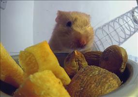 Der Blick in einen Hamster beim Fressen