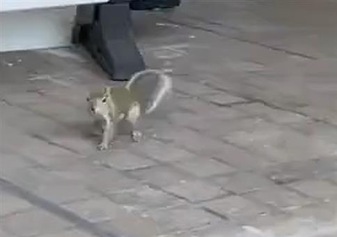 Eichhörnchen besucht Ladengeschäft
