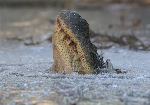 Wie Alligatoren im gefronenen Wasser überleben