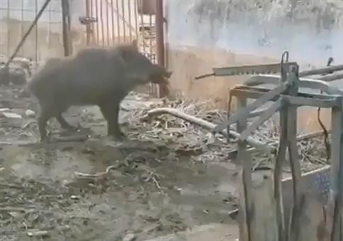 Angriff des Killerschweins