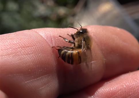 Sterben Honigbienen wirklich wenn sie stechen?