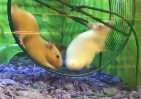 Zwei Hamster im Laufrad