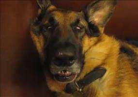 Schäferhund schläft und wacht auf