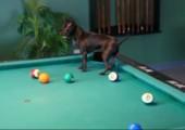 Chihuahua spielt Billiard