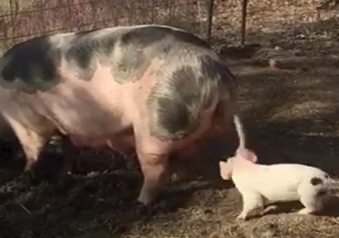 Auch Schweinekinder nerven