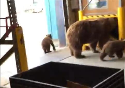 Bärenfamilie besucht ein Lagerhaus
