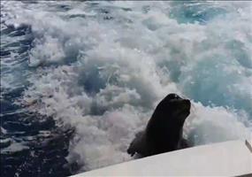 Seelöwe verfolgt Boot