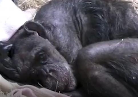 Abschied von einem sterbenden Schimpansen