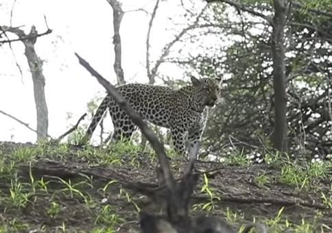 Honigdachs beschützt Artgenossen vor Leopard