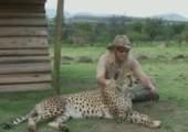 Schnurrender Gepard