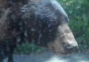 Neulich bei der Bärensafari