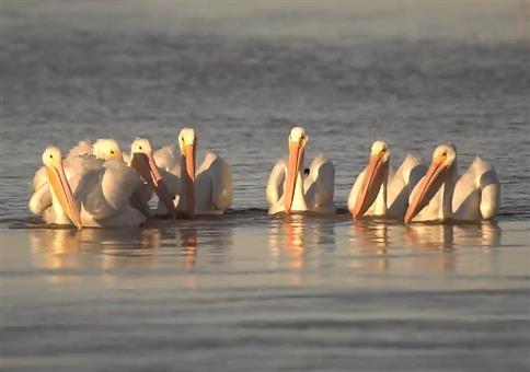 Synchronisierte Pelikane