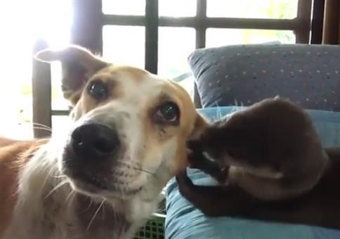 Hund-Otten-Ohren Arzt