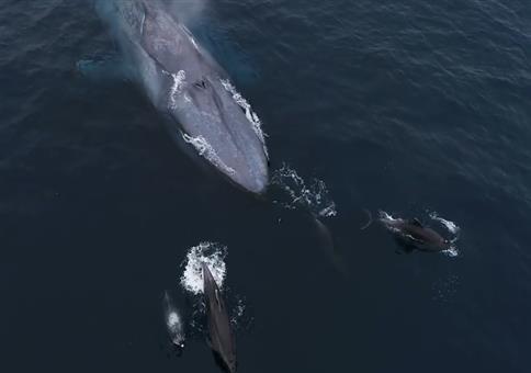 Familie Wal mit Delphin-Eskorte unterwegs