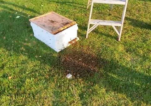Ein Bienenvolk muss umziehen