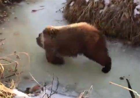 Bär auf Eis