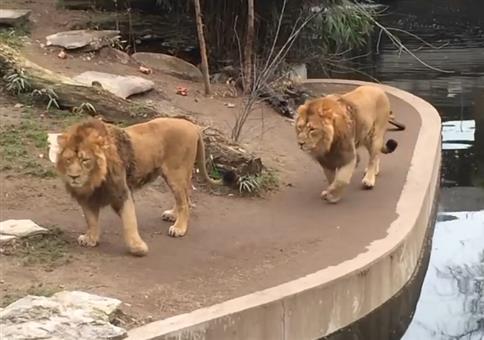 Löwe leistet sich Fehltritt