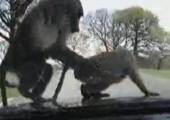 Affen treiben GV auf Motorhaube