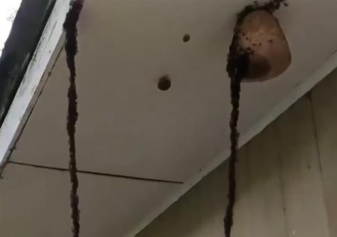 Ameiseninvasion auf Wespennest