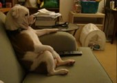 Englische Bulldogge sitzt auf der Couch und schaut TV