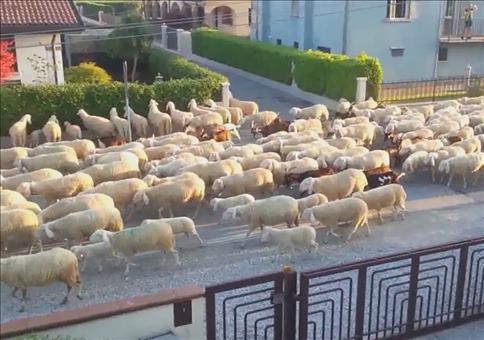 Schafherde steht auf Nachbars Hecke