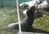 Blöckender Seehund
