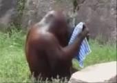 Orang-Utan wäscht sein Gesicht