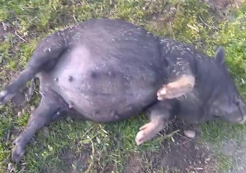 Besoffenes Schwein